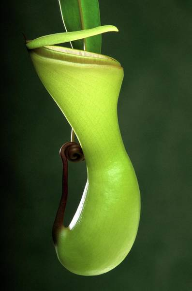 Pitcher Plant Photograph - Pitcher Plant (nepenthes Ventricosa) by Pascal Goetgheluck/science Photo Library