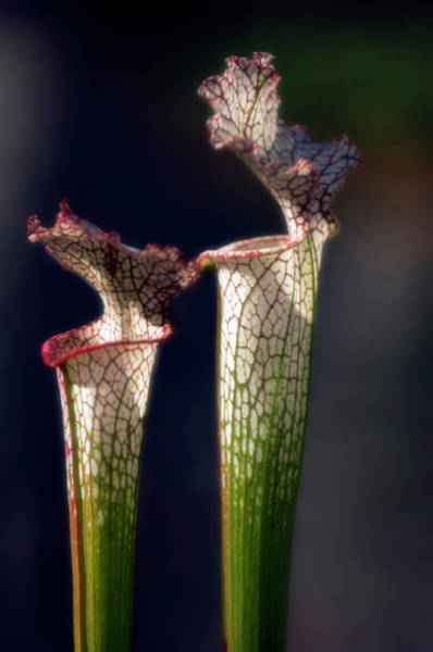 Pitcher Plant Photograph - Pitcher Plant (sarracenia Leucophylla) by Maria Mosolova/science Photo Library
