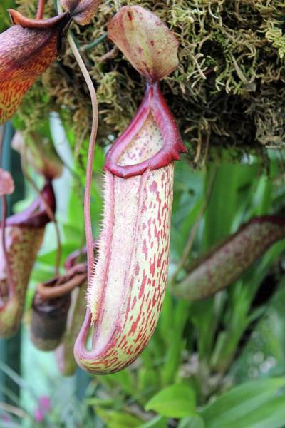 Pitcher Plant Photograph - Pitcher Plant's Trap by Tony Craddock/science Photo Library