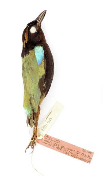 Passeriformes Photograph - Pitta Iris by Natural History Museum, London