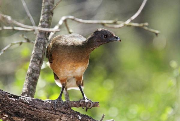 Central Texas Photograph - Plain Chachalaca by Bob Gibbons/science Photo Library