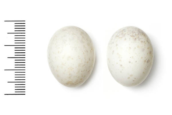 Birds Eggs Photograph - Plain Nightjar by Natural History Museum, London