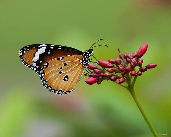 Plain Tiger Or African Monarch Butterfly Dthn0008 Art Print