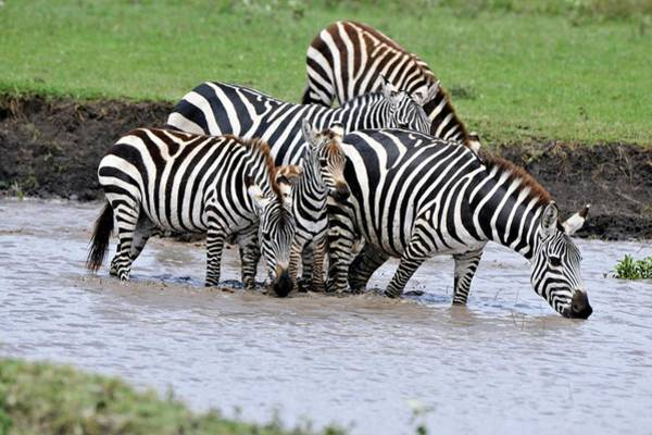 Wall Art - Photograph - Plains Zebra Drinking by Dr P. Marazzi/science Photo Library