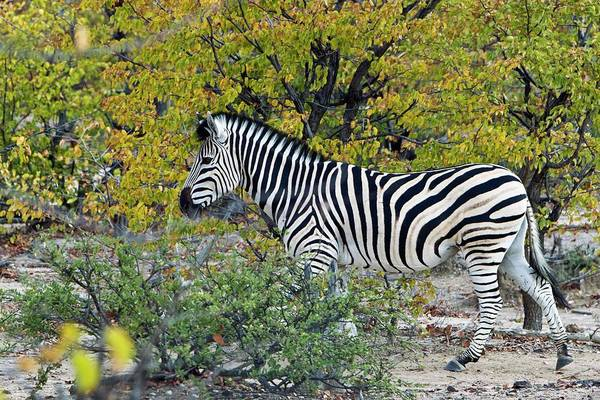 Wall Art - Photograph - Plains Zebra In Scrubland by Dr Andre Van Rooyen/science Photo Library