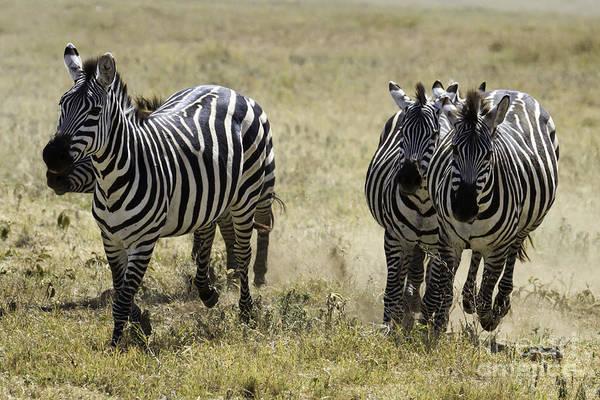 Photograph - Plains Zebras Running by Chris Scroggins