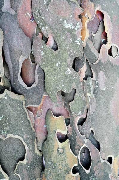 Wall Art - Photograph - Plane Tree (platanus Hispanica) Bark by Michael Clutson/science Photo Library