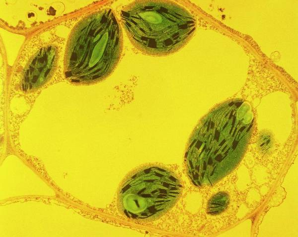 Organelle Photograph - Plant Cell by Biophoto Associates/science Photo Library