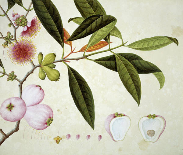 Angiosperms Wall Art - Photograph - Plant From Canton by Natural History Museum, London