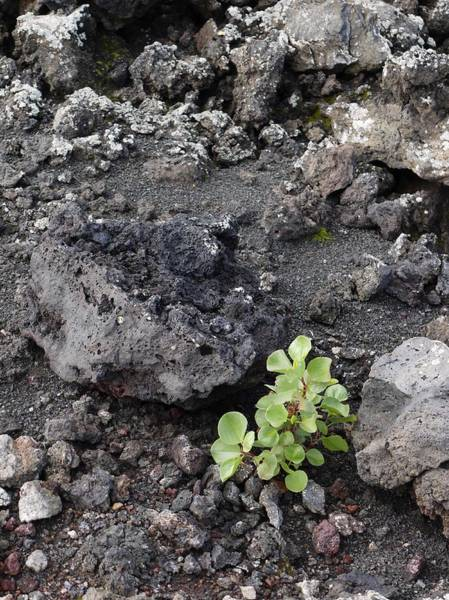 Erode Photograph - Plant In Lava by Tony Craddock/science Photo Library