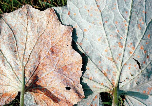 Rust Fungus Photograph - Plant Rust Infection by G A Matthews/science Photo Library