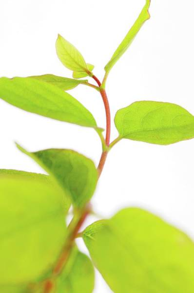 New Leaf Photograph - Plant Shoot And Leaves by Crown Copyright/health & Safety Laboratory Science Photo Library