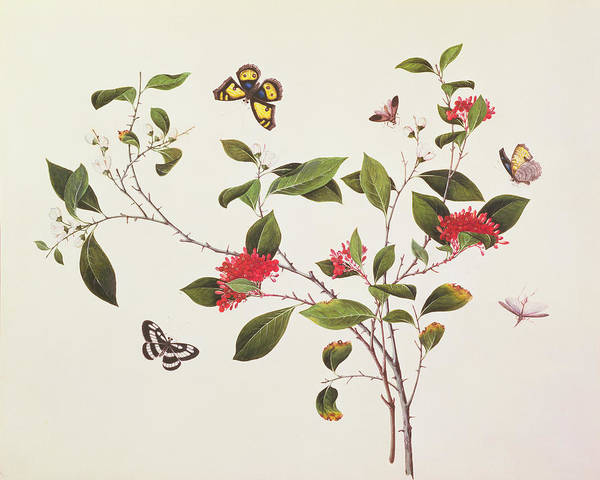 Botanical Drawing - Plant Study With Butterflies by Chinese School