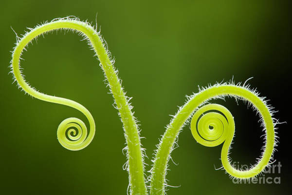 Curls Photograph - Plant Tendrils by Tim Gainey