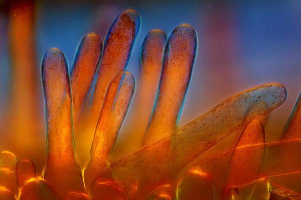 Photograph - Plant Trichomes, Lm by Marek Mis