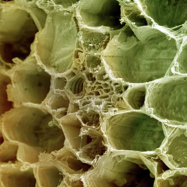 Plant Anatomy Wall Art - Photograph - Plant Vascular Bundle by Ami Images
