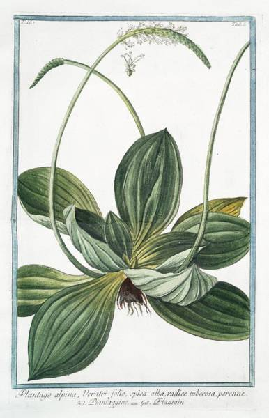 Division One Wall Art - Photograph - Plantago Alpina by Rare Book Division/new York Public Library