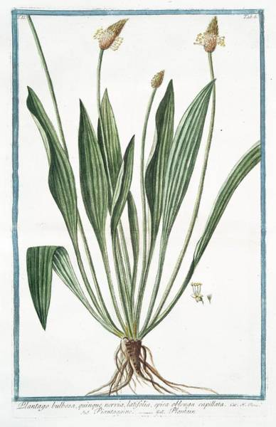Division One Wall Art - Photograph - Plantago Bulbosa by Rare Book Division/new York Public Library
