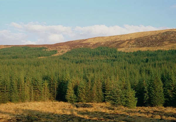Spruce Photograph - Plantation Of Sitka Spruce by Duncan Shaw/science Photo Library
