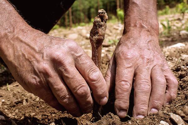 Grapevine Photograph - Planting A Grapevine by Mauro Fermariello/science Photo Library
