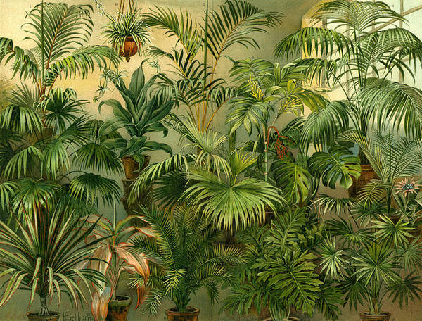 Coco Drawing - Plants 19th Century Kentia Baueri Chrysalidocarpus by English School