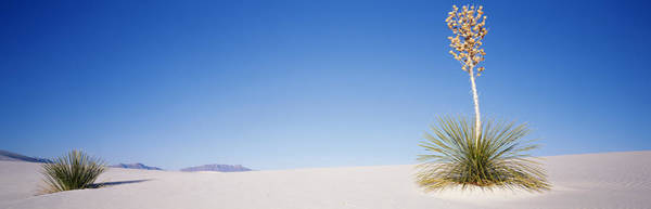 Yucca Plants Photograph - Plants In A Desert, White Sands by Panoramic Images