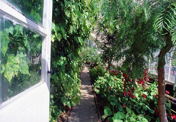 Glasshouse Photograph - Plants In A Regency Glasshouse by Adrian Thomas/science Photo Library