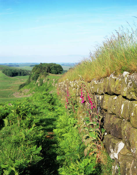 Hadrians Wall Photograph - Plants On Hadrian's Wall by Simon Fraser/science Photo Library