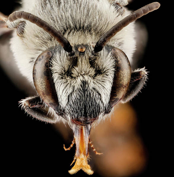 Image Stacking Photograph - Plasterer Bee by Us Geological Survey