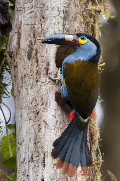 Toucan Photograph - Plate-billed Mountain-toucan At Nest by Tui De Roy