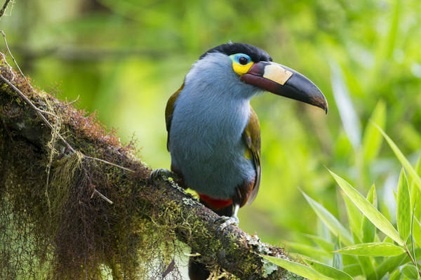 Ramphastidae Photograph - Plate-billed Mountain-toucan Bellavista by Tui De Roy