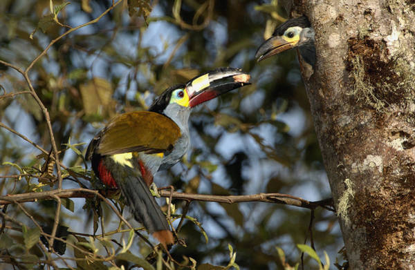 Ramphastidae Photograph - Plate-billed Mountain Toucan Feeding by Pete Oxford