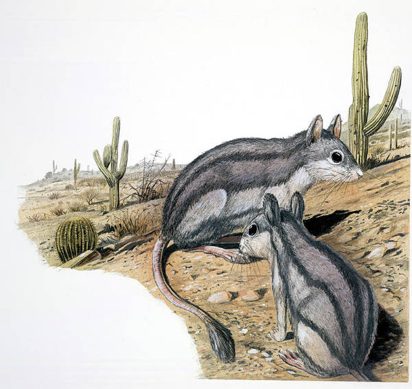 Rodents Photograph - Platypittamys by Natural History Museum, London/science Photo Library