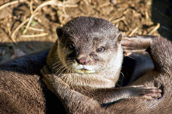 Aonyx Cinerea Photograph - Play Time For Otters by Susie Peek
