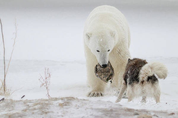 Polar Bear Photograph - Play With Me by Alessandro Catta