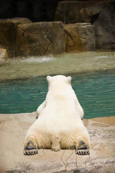 Photograph - Playful Polar Bear by Adam Romanowicz