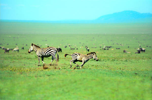 Photograph - Playfull Zebras by Sebastian Musial