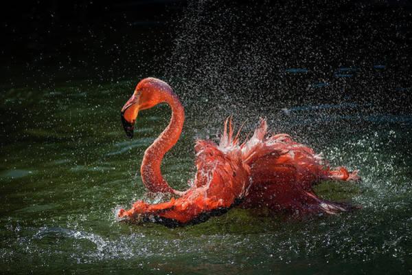 Pink Flamingos Photograph - Playing by David H Yang