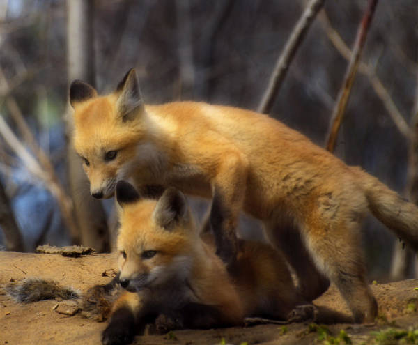 Photograph - Playing Kit Foxes by Thomas Young