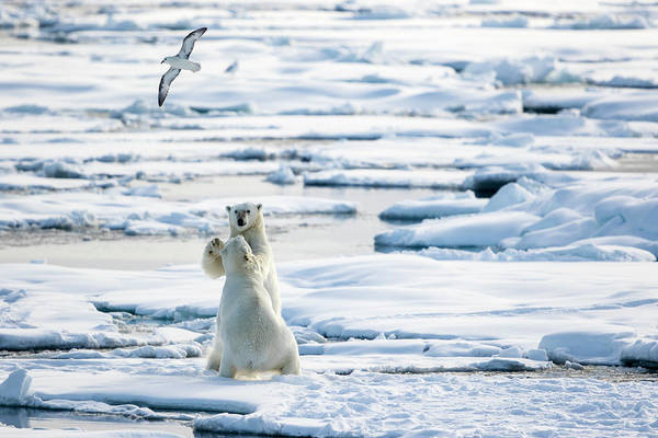 Urban Wildlife Photograph - Playing On The Pack Ice, Ursus by Raffi Maghdessian
