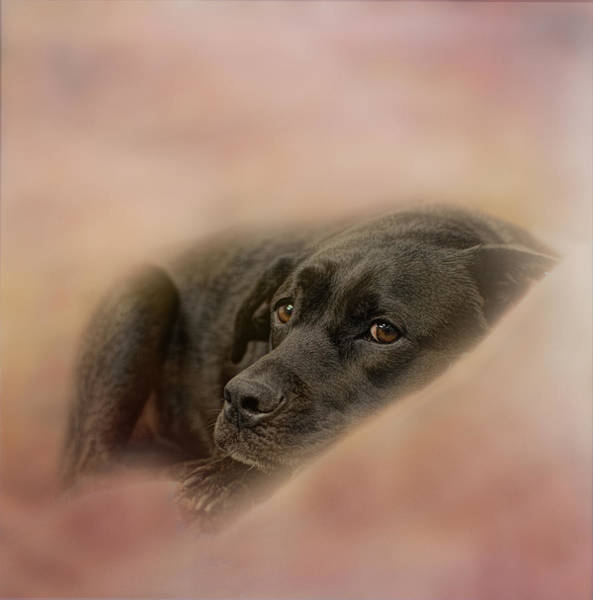 Black Lab Photograph - Pleas by Susan Capuano