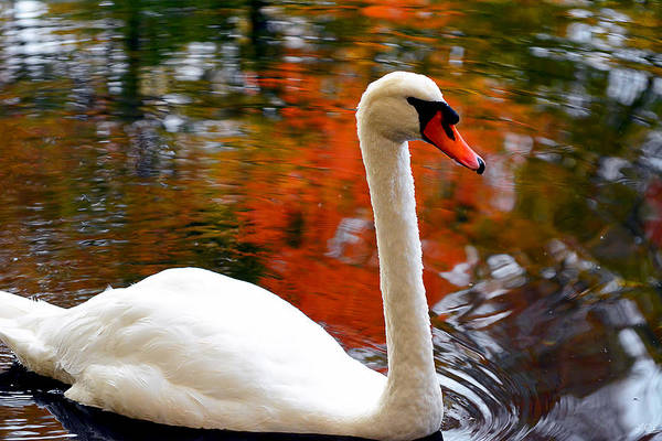 Swan Photograph - Pleasant Welcome by Lourry Legarde