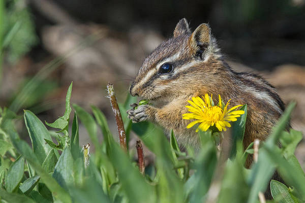 Chipmunk Photograph - Please Don't Eat The Daisies by Sandy Sisti