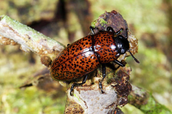 Pleasing Wall Art - Photograph - Pleasing Fungus Beetle by Dr Morley Read