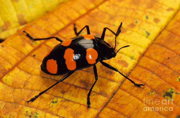 Photograph - Pleasing Fungus Beetle by Stuart Wilson