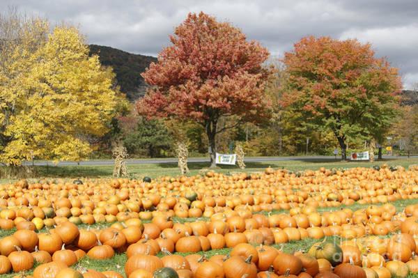 Photograph - Plenty O' Pumpkins by David Birchall