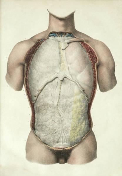Pleura And Peritoneum Art Print