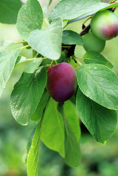 Wall Art - Photograph - Plum by Duncan Smith/science Photo Library