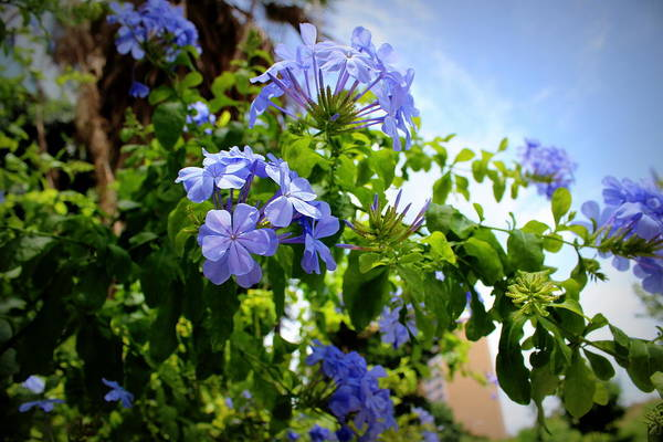 Plumbaginaceae Photograph - Plumbago by Beth Vincent