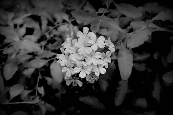 Plumbaginaceae Photograph - Plumbago Bw by Beth Vincent